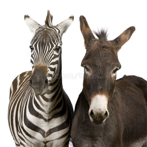 zebra donkey preview