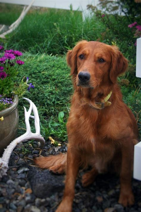 Best Red Golden Retriever Ideas And Images On Bing Find What You