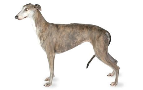 greyhound dog breed information pictures characteristics