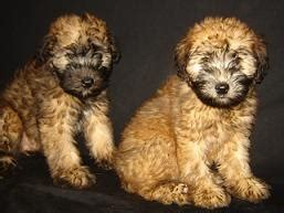 why is my wheaten terrier shedding 17 best images about these are a few of my favorite things