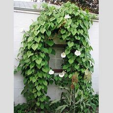 5 Fastclimbing Vines For Your Garden