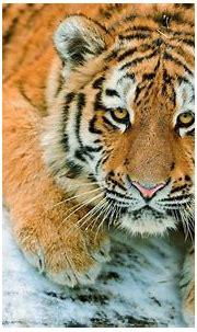 Tiger HD Wallpaper | Background Image | 2560x1600 | ID ...