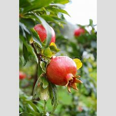 Red Pomegranate Fruit On The Tree In Leaves  Stock Photo