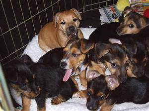 We have puppies for sale at Aislinge Bray Terriers from ...