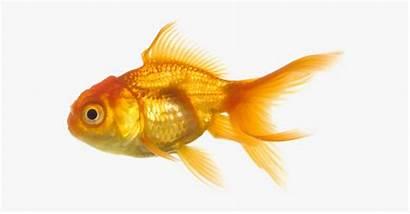 Swim Goldfish Clipart Fish Transparent Animals Webstockreview