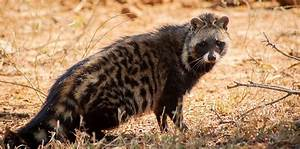 African Civet Facts, Habitat, Diet, Musk, Life Cycle, Baby ...