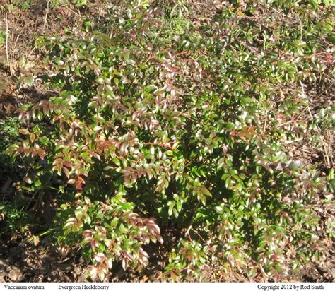 green shrub with pink flowers shrubs by flowering season and height