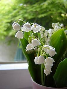 Growing Lily Of The Valley In Pots