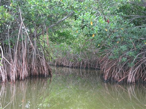 Shorelines » Blog Archive Mangrove Tracking I: A Forest on ...