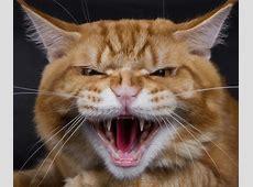 Körpersprache Was will mir meine Katze sagen? MaineCoon