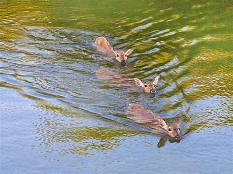 10 Best Images About Key West Key Deer On Pinterest Swim