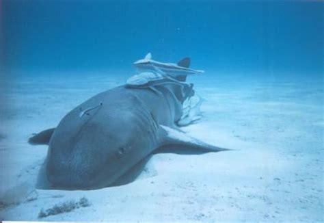 requin dormeur blue safari