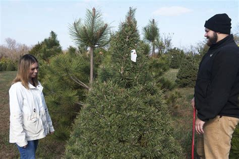area christmas tree farms are quot keeping it real quot local