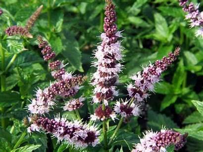Mint Plant Plants Grow Care Flowering Worldoffloweringplants