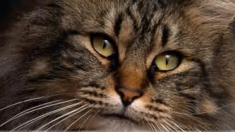cat faces brown cat closeup wallpaper