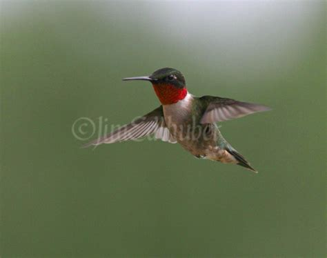 ruby throated hummingbirds at wyalusing state park in