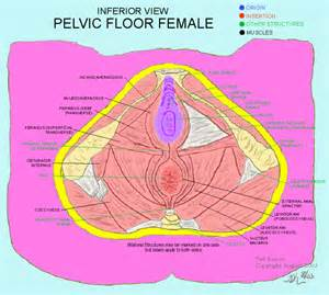 pelvic floor muscles related keywords suggestions