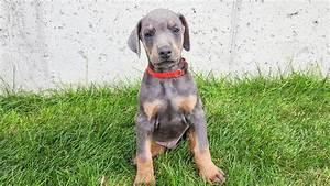 BEAUTIFUL BLUE European Doberman Puppy For Sale - 2017 ...
