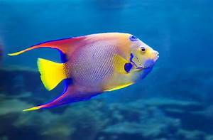 10 Facts About Angelfish