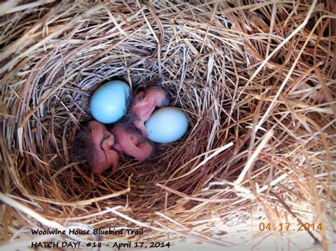 bird nests the woolwine house bluebird trail
