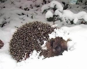 Igel Winterschlaf Gewicht : warmer winter was wenn die igel zu fr h aufwachen ~ Watch28wear.com Haus und Dekorationen
