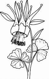 Columbine Flower Western Drawing Svg Coloring Clip Flowers Leaf Colorado Floral Kb Drawings Outline Transparent Plants Clipartmag Sketch Illustration Tattoo sketch template