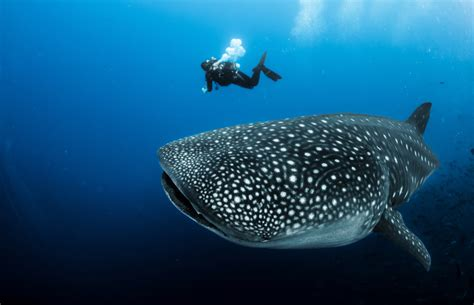 Whale Sharks, Earth's Largest Fish, Also Commonly Eat