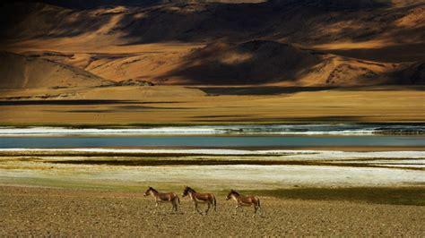 Wild Ass near Tso Kar salt lake, Rupshu Valley, India ...