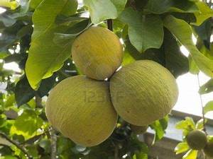 Santol, a tropical fruit tree Called Santol in the ...
