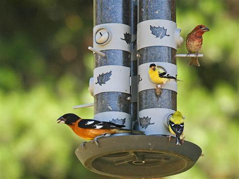 finch bird feeder attracting finches to bird feeders birdcage design ideas