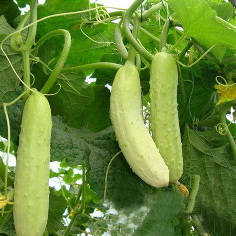 Cucumber Seeds by 100pcs Cucumber Seeds Organic Russian Pickling