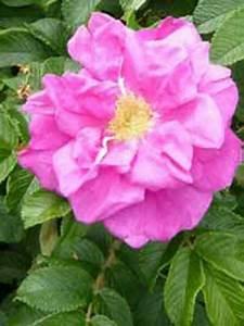 Rose In Kartoffel Anpflanzen : rosa rugosa kartoffel rose apfel rose g nstig ~ Lizthompson.info Haus und Dekorationen