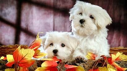 Puppy Wallpapers Desktop Wallpapersafari