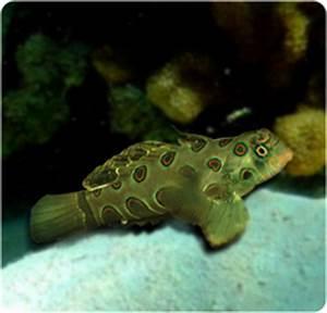 Aquarium Size Chart Yellow Mandarin Dragonet Target Mandarinfish