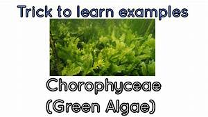 Awesome Trick To Learn Examples Of Chlorophyceae  Green Algae Ncert Plant Kingdom