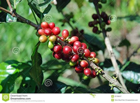 Raw Coffee Beans To Coffee Plant Stock Image My Black And Decker Coffee Maker Keeps Turning Off Manual Flipkart Ani Barach Kahi Cafe Picture Download Dialogue Lyrics Bpa Nonton A To Go Xxi