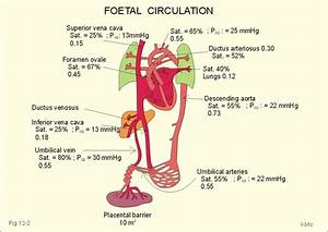 The Fetal Circulation