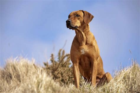 Rhodesian Ridgeback Excessive Shedding by Rhodesian Ridgeback Puppies Pictures Breeds Picture