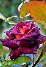Most Beautiful Purple Rose Flowers