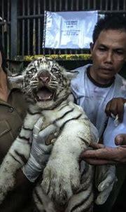PHOTOS   Newborn Bengal tiger cubs revealed at Indonesian zoo
