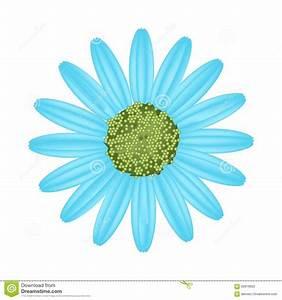 Light Blue Daisy Flower On White Background Stock Vector ...