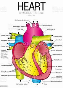 Chart Of Heart Anterior View With Parts Name On White