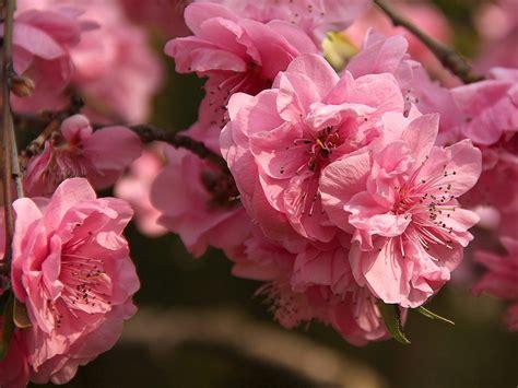 sakura  japanische kirschbluete hintergrundbild