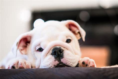 adult brindle  white american pit bull terrier lying