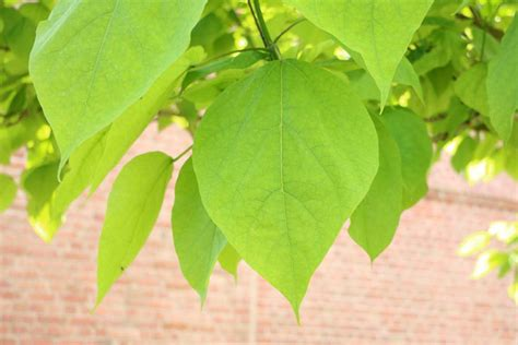 catalpa baum schneiden trompetenbaum catalpa schneiden zeitpunkt und 4 schritte anleitung