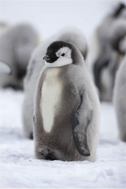 Penguin Penguins Emperor Antarctica Adorable Animals Heart