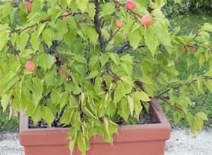 Arbres Fruitiers Nains En Pleine Terre : comment installer un arbre fruitier mini tige ~ Premium-room.com Idées de Décoration