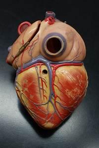 Human Anatomy Lab  Heart Models