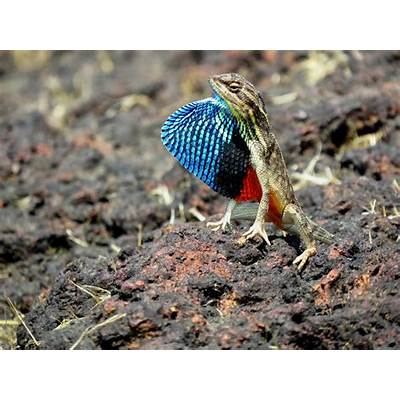 FAN THROATED LIZARD (Sitana ponticeriana): MAGICAL