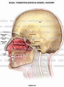 Nasal turbinates (concha) normal anatomy — Medical Art Works